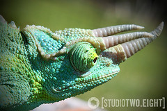 Nova (StudioTwo.Eight) Tags: reptile lizard chameleon jacksons studio2eight