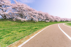 Revisiting to the spectacular sakura place! (maida0922) Tags: road blue trees sky green cherry landscape spring kyoto riverside blossoms bank  curve dike k5 yawata   kizugawa  sigma816mmf4556dchsm gettyimagesjapan13q2
