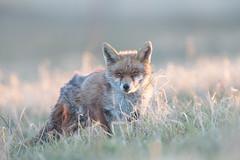 The Game Of Eyes (Dan Belton ( No Badger Cull )) Tags: uk red urban nature animal mammal spring suburban leicestershire wildlife fox april loughborough vulpesvulpes 2013