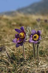 pulsatilla montana/Renonculaces (luka116) Tags: schweiz switzerland suisse swiss anemone svizzera anemones wallis valais pulsatilla pulsatillamontana renonculaces charratvison
