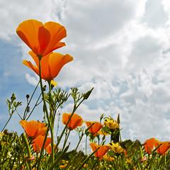 (Inmacor) Tags: naturaleza flores primavera nature spring flor explore cielos naranja printemps 142 contrapicado cielosky ltytr2 ltytr1 ltytr3 inmacor