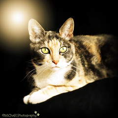 Luna (MiChaH) Tags: light pet cat licht model furry kat luna huisdier poes tryout fotostudio pussoe