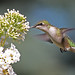 Female Ruby-throated Hummingbird...#9