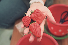 Yum! (The Paper Crane) Tags: cute japan strawberry strawberries fukuoka ichigo  strawberrypicking