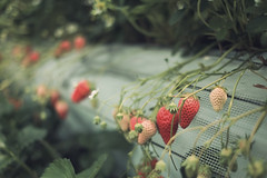 Ripe/Unripe (The Paper Crane) Tags: cute japan strawberry strawberries fukuoka ichigo  strawberrypicking