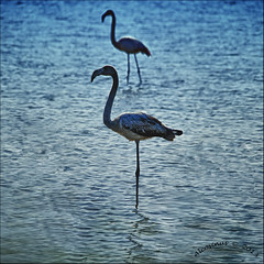 """Flamingo blues"" (Alcosinus   ON/OFF ) Tags: blue nature birds square flamingo bleu oiseaux carr flamants 3000v120f nikond700 alcosinus"