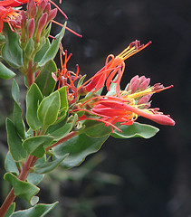 Tristerix pubescens (Dick Culbert) Tags: quintral taxonomy:family=loranthaceae sueldasuelda tristerixpubescens taxonomy:common=quintral taxonomy:binomial=tristerixpubescens taxonomy:common=sueldasuelda geo:lat=8874 geo:long=77889