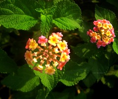 Lantana Camara (Veena-Nair) Tags: flowers india nature beautiful maharashtra colourful invasivespecies lantanacamara spanishflag multicoloredflowers ornamentalplant westindianlantana arippoovu verbanafamily