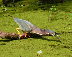 1OK_5227 (68photobug) Tags: park usa bird heron nikon florida reserve sigma wetlands marsh preserve lakeland sanctuary refuge naturecenter winterhaven polkcounty greenheron greenbackedheron discoverycenter environmentalcenter wildlifemanagement circlebbar 55300mm d7000 pinescrub 68photobug