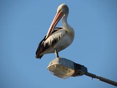 IMG_1394 (Susie Sawyer) Tags: birds native australian pelican narrabeen