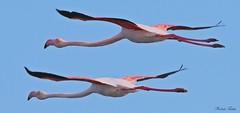 Fenicottero - Flamingo  (Phoenicopterus roseus) (Michele Fadda (Shots in Time)) Tags: sardegna italy nature sardinia flamingo flight free natura volo phoenicopterusroseus avifauna uccello volatile fenicottero photoscape canoneos700d michelef sigma150500mmf563dgoshsmapo faunaprotetta inliberta
