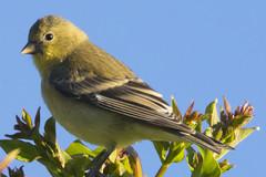 Lesser Goldfinch (Spinus psaltria) (uncle.dee9600) Tags: bird finch goldfinch lessergoldfinch spinuspsaltria telephoto nikon nikond7200