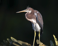 Juvenile Tricolored Heron (Egretta tricolor) (Frank Shufelt) Tags: usa nature birds florida wildlife aves northamerica herons egrets tricoloredheron egrettatricolor palmbeachcounty ardeidae 2942 greencay july2016
