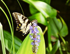 Swallowtail Butterfly (BlueisCoool) Tags: orange flower color nature water beautiful butterfly insect outdoors photography photo spring colorful stream flickr foto bright image florida outdoor sony picture vivid cybershot capture wildflower swallowtail swallowtailbutterfly largoflorida dscw300