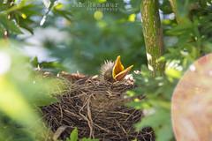 Hungry Baby Robin (J.L. Ramsaur Photography) Tags: jlrphotography nikond7200 nikon d7200 photography photo cookevilletn middletennessee putnamcounty tennessee 2016 engineerswithcameras cumberlandplateau photographyforgod thesouth southernphotography screamofthephotographer ibeauty jlramsaurphotography photograph pic cookevegas cookeville tennesseephotographer cookevilletennessee nature outdoors macro macrophotography closeupphotography closeup dof depthoffield bokeh godsartwork naturespaintbrush bird babybird hungrybabyrobin babyrobin robin hungry renewal