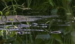 Geltonskruostis altys / Natrix natrix / Grass Snake (Jonas Juodiius) Tags: lietuva lithuania rytlietuva algirdnraistas venionys gulbiniai gulbiniailake geltonskruostisaltys natrixnatrix grasssnake