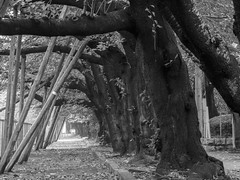 Archway under cherry trees (odeleapple) Tags: olympus e5 zuiko digital 70300mm zd arch cherry tree bw