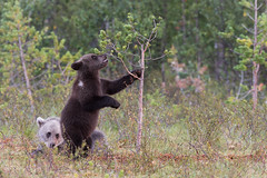Playful cubs (ToriAndrewsPhotography) Tags: brown bear cubs grey small playing tree swamp waterdrops cute andrews tori photography