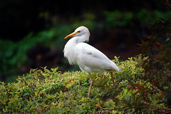 Graceful Egret (BBMaui) Tags: bird avian wildlife animal life nature green white outdoor egret