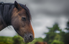 Dartmoor Pony (handmiles) Tags: pony wildlife nature horse colour hdr brown fields dartmoor devon southwest trees bokeh depthoffield outdoor outside out sony sonya77mark2 sonya77m2 sony85mm f28 prime primelens mileshandphotography2016