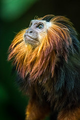 DSC_4275-1 (craigchaddock) Tags: zoe goldenheadedliontamarin leontopithecuschrysomelas parkeraviary sandiegozoo endangeredspecies goldenheadedtamarin tamarin newworldmonkey monkey