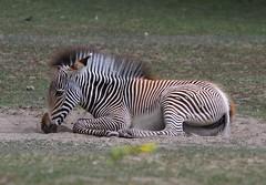 Grevys Zebra Foal (praja38) Tags: grevyszebra foal caps cap capricorn humour life wild wildlife nature baby zebra horse stripes hoof hooves resting mane mammal toronto zoo ontario canada
