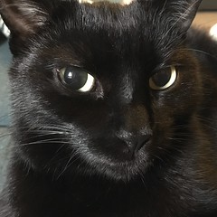 Lucky (Leanne Kenyon) Tags: kitty grumpy glare stare domestic animal portrait eye face cat black
