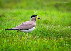 Yellow wattled Lapwing (Sreelesh Sreedhar) Tags: lapwing animal nature bird india tele kerala fly green grass ngc nikon nikonflickraward nikond7100 wildlife kannur nikon200500 outdoor