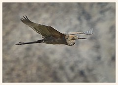 Green Heron (gauchocat) Tags: bahiadelosangeles bajacalifornia seaofcortez