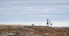 Porot (mattisj) Tags: lapinlääni lapinmaakunta pohjoislappi suomi utsjoki poro reindeer lapland rangifertarandus