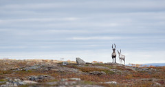 Porot (mattisj) Tags: lapinlni lapinmaakunta pohjoislappi suomi utsjoki poro reindeer lapland rangifertarandus