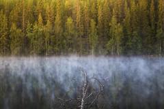 Fallen birch (Olli Tasso) Tags: birch pond lake mist fog perjrvi tampere suomi finland outdoor nature landscape scenery tree forest maisema jrvi lampi mets koivu puu calm peaceful serene