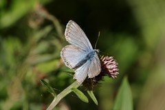 IMGP1078 Chalkhill Blue, Devil's Dyke (Cambs), August 2016 (bobchappell55) Tags: butterfly insect chalkhill blue devilsdyke cambridgeshire reach