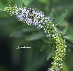 Cat Tail (haidarism (Ahmed Alhaidari)) Tags: green flower bud plant bokeh outdoor nature depthoffield sonya65 macro macrophotography leaf cat tail ngc
