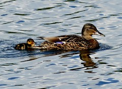 just one late offspring (BrigitteE1) Tags: justonelateoffspring vogel bird ente duck stockente northernmallardduck anasplatyrhynchosplatyrhynchos bremen deutschland germany entenkken duckling wasser lago cute water blue specanimal