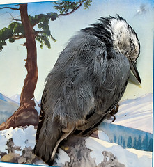 fatal accident (glantine) Tags: accident nuthatch stele cheznous carte card feathers plumes sad triste bird oiseau death mort tribute sorry delicate beauty sensitivity