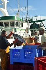 La pche aux thons (Kaynione) Tags: thons pche turballe port pcheurs poissons fish fishing harbor fishermann