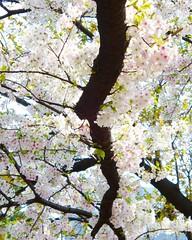 Imperial Palace Hanami (Toni Kaarttinen) Tags: japan  japonia    jap japonsko jaapan  japani japon xapn    japn jepang an tseapin giappone  japna japonija  japo  japonska japn hapon  japonya nht bn tokyo tokio japanese sakura hanami hanami2016 cherry cherries flower blossom cherryblossom cheeryblossoms cherryblossoms cheryblossom cherryflower celebration spring happiness skyscraper imperial palace imperialpalace