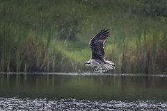 Fish for lunch (Peter Stahl Photography) Tags: osprey catch fish hermitagepark park fall water bird