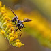 Fly Wasp