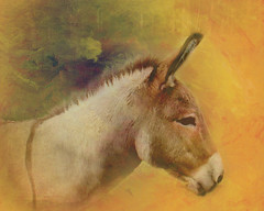 Donkey (boeckli) Tags: donkey animal tier shuttercreek textures texturen outdoor painterly