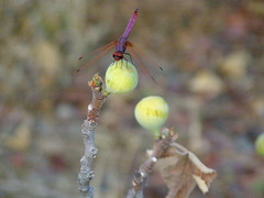 (Psinthos.Net) Tags:  psinthos nature  countryside   drygrass fruits  dragonfly    insect head legs body eyes wings       figs whitefigs branches  fallenleaf   leaf afternoon