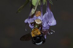 Synema imitator with carpenter bee 2ynema imitator with carpenter bee (zimbart) Tags: cec gorongosanationalpark mozambique africa arthropoda arachnida araneae thomisidae synema synemaimitator insects hymenoptera anthophoridae