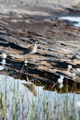Ruff - Láhko Nasjonalpark (dataichi) Tags: nordland norway scandinavia nature landscape outdoors travel tourism destination lahko ruff bird birdwatching birding animals wildlife depthoffield bokeh