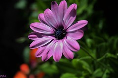 Daisy (C.DeR) Tags: daisy nature flower cder flowers pink petals colours depthoffield outdoor