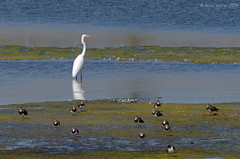 Great Egret, grande aigrette (Ardea alba) with Northern Lapwings, Vanneaux hupps (Vanellus vanellus) - Hermalle sous Argenteau, BELGIUM (brun@x - Africa: birds & more) Tags: 2016 ave aves avian avifauna avifaune belgique belgium bird birdlife birdwatching brunoportier chim d7000 faune nikon ocell oiseau ornitho ornithologie ornithology sigma500f45 sigma uccelli uccello vogel vol vgel wilde wildevogel wildlife      ardeidae  uccelloaves bruno portier hermalle sous argenteau hermallesousargenteau great egret grande aigrette ardea alba greategret grandeaigrette ardeaalba