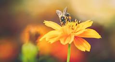 Sometimes I'm so sweet even I can't stand it.. (Midori (K)) Tags: flower nature bee beautifulflower yellowflower