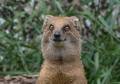 Cotswold Wildlife Park_August 2016 _Mongoose (Jane Nesbitt) Tags: mongoose portrait wildlife nature