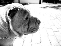 Siempre atento (Dani PG) Tags: dog pet perro sharpei mascota whitespace flickrfriday