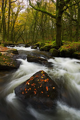 The Sentinal (Darren Platt Photography) Tags: tree water yellow forest canon woodland river stream moor fowey beech bodmin 1740l golitha eos1dsii